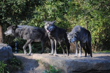 wolves-188553_640